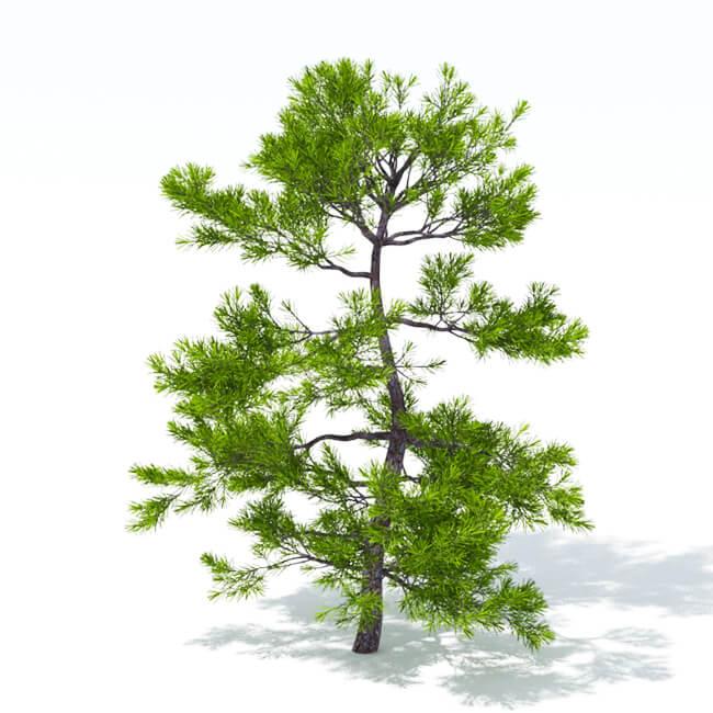 Podocarpus - 3d model tree