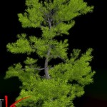 Podocarpus 3d model
